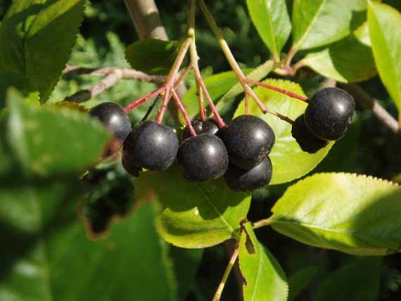 Ghid de plantare Aronia – Ingrasaminte, nutrienti, mulci si compost